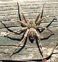 Spider July 11, 2014 - Dolomedes albineus