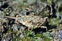 Pygmy Grasshopper - Paratettix - female
