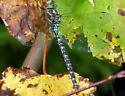 Blue-eyed Darner (Rhionaeschna multicolor) - Aeshna umbrosa