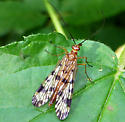 Skinny fly with spotted wings - Panorpa