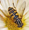 Flower Fly - Helophilus fasciatus - female