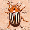 Leptinotarsa juncta (False Potato Beetle) ? - Leptinotarsa juncta