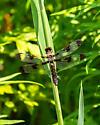 Brown dragonfly - Plathemis lydia - female