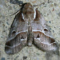 Brown & white Moth - Baileya doubledayi