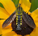 Fly?  - Lepidophora lutea