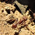 Ant - Pogonomyrmex