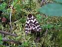 Moth - Arctia opulenta