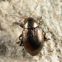 Flea Beetle - Chaetocnema