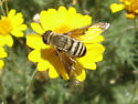 Bee Fly? - Paravilla