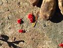 Bright Red Very Small Bug - Dinothrombium