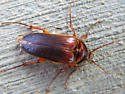 Rain Click Beetle? - Scaptolenus lecontei