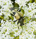 black and yellow flower beetle - Judolia cordifera
