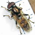 Mulch fly - Xylota - male
