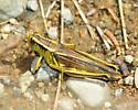 Melanoplus sp. - Melanoplus bivittatus - female