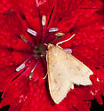 Moth on red Dianthus - Udea rubigalis