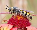 Wasp? Hornet? - Dielis plumipes - female