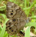 northern pearly-eye - Lethe anthedon