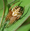 spider - Neoscona arabesca