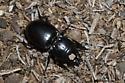 Ground Beetle - Pasimachus