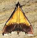 Pyrausta bicoloralis