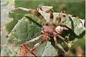 Spider sp - Araneus