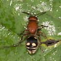 Velvet ant - Dasymutilla quadriguttata - female