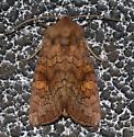 American Ear Moth - Hodges#9457 - Amphipoea americana