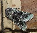 Moth needs ID - Feralia major