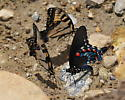 Pipevine Swallowtail puddling with Eastern Tiger Swallowtails - Battus philenor