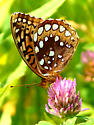 possible Fritillary for ID - Speyeria cybele - female