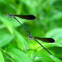 Variable Dancers - Argia fumipennis - male - female