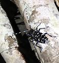 Asian Longhorned Beetle - Anoplophora glabripennis