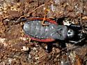 unknown - Melanolestes picipes - female