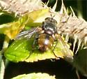 Repetative Tachinid Fly? - Peleteria