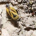 Yellow Bug - Plagiognathus moerens