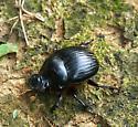 Dung Beetle  Dichotomius - Dichotomius carolinus