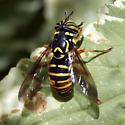 spilomyia interrupta - Spilomyia citima