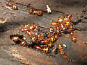 Ants - Camponotus subbarbatus