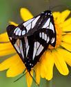Police Car Moth -  - Gnophaela vermiculata