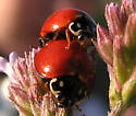 Spotless Ladybird Beetle - Cycloneda sanguinea - male - female
