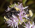 An overnight aggregation of bumblebees - Bombus - male