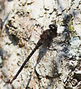 Gomphaeschna antilope (Taper-tailed Darner) - Gomphaeschna antilope - male