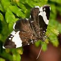 Brown & White Moth - Trichodezia albovittata
