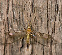 Hickory Flat Fly - Macrocera - male