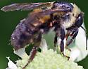 Bee on mountain mint - Bombus griseocollis