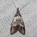 Unknown moth from Santa Cruz Island, California - Bondia comonana