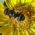 syrphid fly - Eristalis hirta