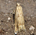Small tan moth - Pelochrista
