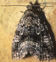 Large Mossy Lithacodia Moth - Protodeltote muscosula