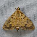 Portentomorpha - Portentomorpha xanthialis